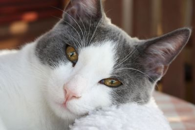mignon, chat, fourrure, oeil, pet, animal, portrait, chaton, kitty