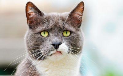 roztomilý, zvíře, kočka, pet, kožešiny, portrét, oko, kočičí, kočička