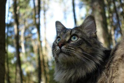 alam, kucing, hewan, bulu, potret, lucu, mata, kayu, satwa liar