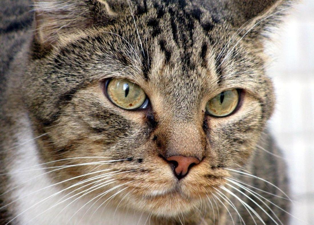 Image Chat Mignon image libre: chat, animal, fourrure, portrait, animaux, mignon, yeux