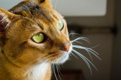 Katze, Porträt, niedliche, Auge, Haustier, Tier, neugierig, Katze, Kätzchen
