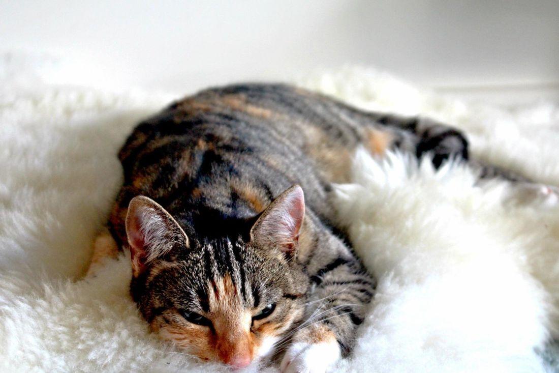 cat, fur, cute, animal, pet, feline, kitten, kitty, sleep, textil, whiskers
