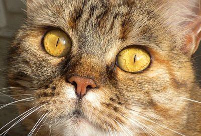 chat, oeil, fourrure, mignon, animal, portrait, tête, animal, moustaches