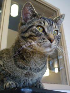 gatto, ritratto, animale, occhio, interni, animali, carino, pelliccia gattino, felino