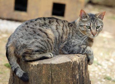 kedi, kürk, hayvan, şirin, Evcil Hayvan, portre, açık, göz, doğa, yavru kedi