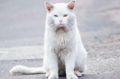gato doméstico, gatito lindo, blanco, animal, gatito, pelaje, felino