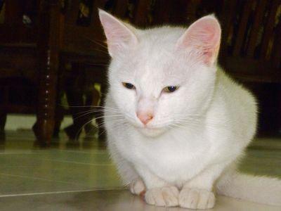 cat, cute, portrait, pet, eye, kitty, kitten, feline, white, domestic cat