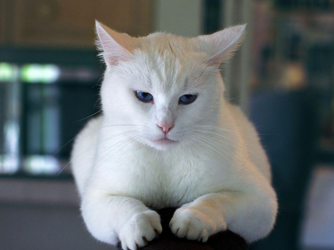 Cat, søt, pet, portrett, øye, hvit, innenlandske katten, dyr, kattunge, pels, kattunge