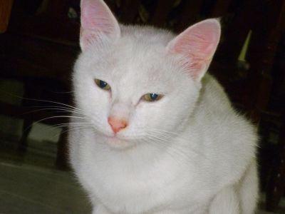 кішка мила, ПЕТ, портрет кошеня, білий, кошеня, котячих, тварина