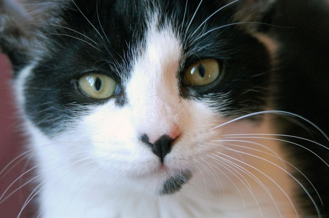 Image libre kitty t te yeux chat chaton portrait - Animal mignon ...
