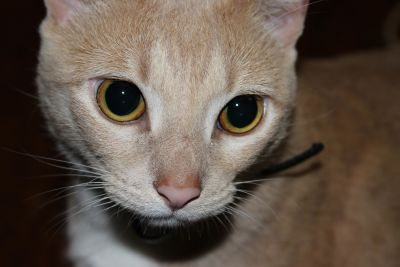 chat, mignon, yeux, portrait, animal, pet, kitty, tête, chaton