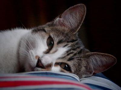 cat, portrait, animal, kitten, cute, pet, eye, fur, sleep, feline