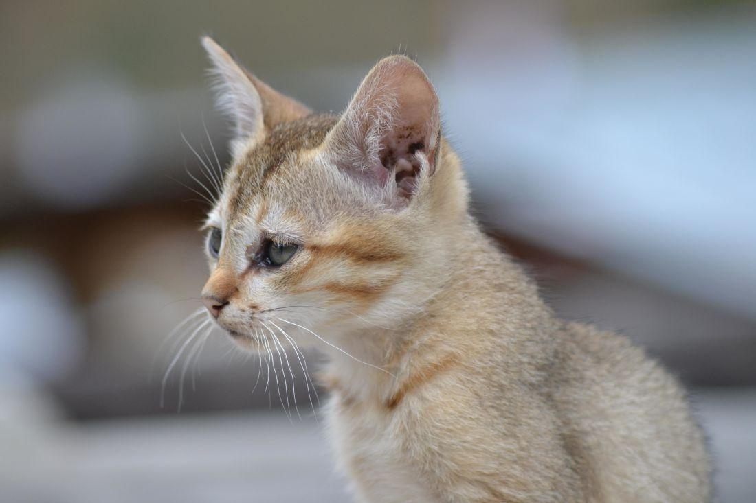 Cat, søt, dyr, kjæledyr, portrett, kattunge, øye, pels, feline