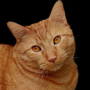 кішка мила, очей, портрет, хутро, тварин, ПЕТ, цікаво, голову, молодих, кошеня
