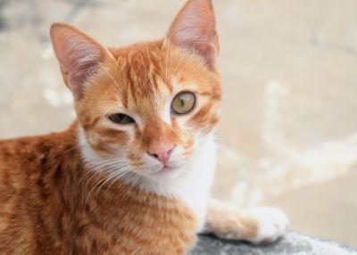 lindo, ojo, piel, gato, joven, retrato, gatito, felino, curioso