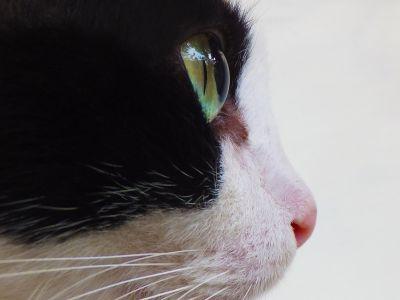 head, domestic cat, portrait, animal, pet, eye, face, nose