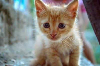 cute, fur, pet, eye, kitten, young, animal, cat, feline