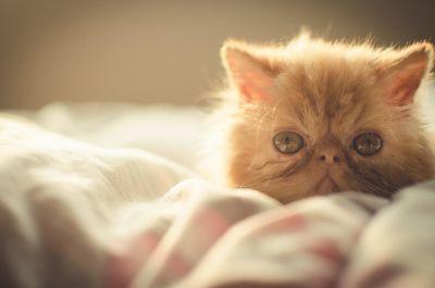 mignon, chat, oeil portrait, animaux, félin, chat persan, chaton, animaux de compagnie