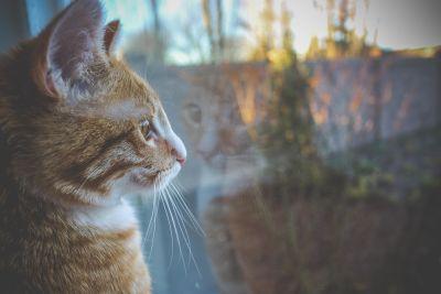 yellow cat, window, curious, animal, cute, portrait, pet