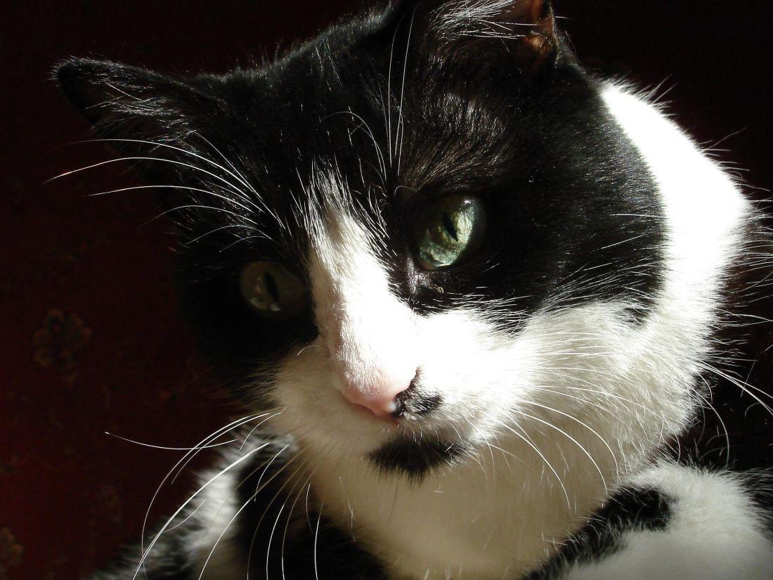 kostenlose bild katze portr t haustier tier katze auge niedlich kitty. Black Bedroom Furniture Sets. Home Design Ideas