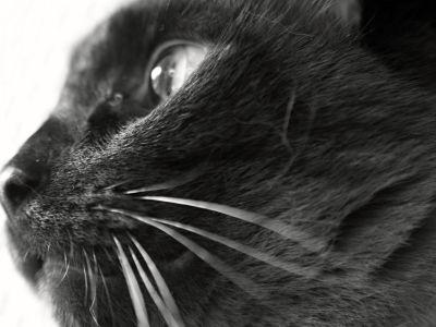 black cat, monochrome, eye, animal, portrait, cute, kitten