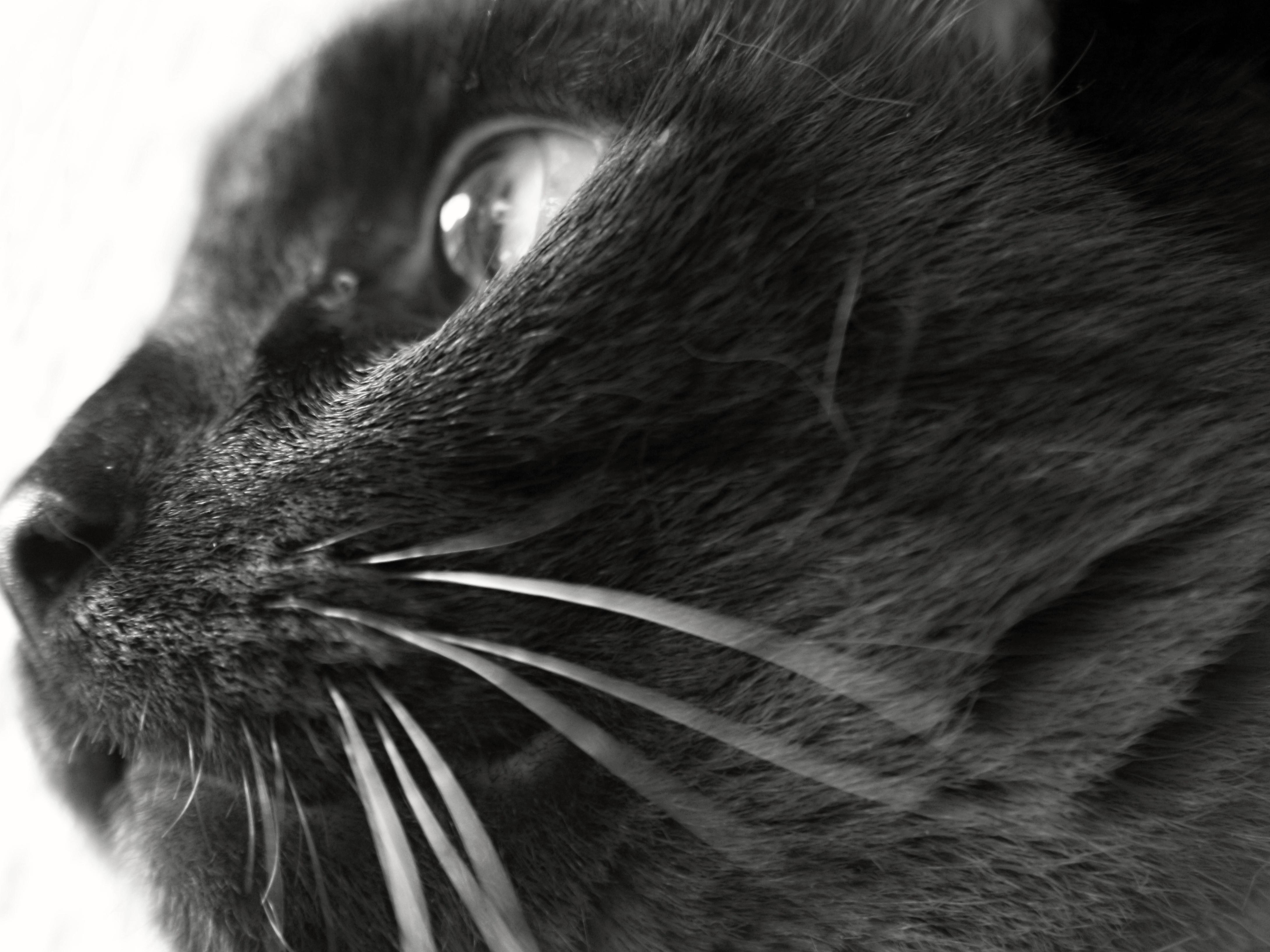 Foto Gratis Nero Gatto Bianco E Nero Occhio Animale Ritratto