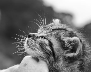 gray cat, fur, animal, cute, nature, monochrome, whisker, portrait, pet