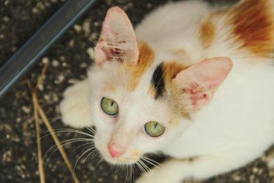 domestic cat, cute, pet, portrait, animal, kitten, eye, kitty