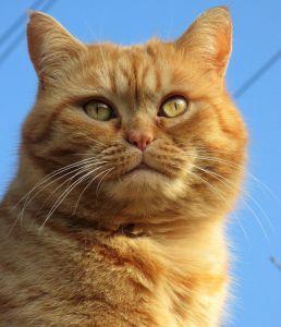 cat, portrait, cute, pet, animal, eye, fur, kitten, head, yellow