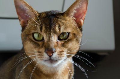 mačka, slatka, ljubimac, portret, krzno, mačića, životinja, oko