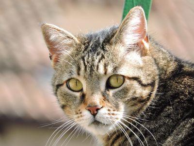 mačka, životinja, slatka, ljubimac, krzno, portret, mačića, oko