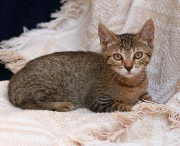 gray cat, textil, kitten, cute, fur, animal, pet, eye, portrait