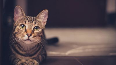 gray cat, shadow, interior, head, pet, animal, vertebrate, curious