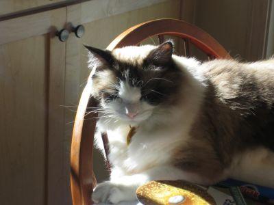Retrato, gato, mascotas, lindo, felino, interiores, muebles, gatito, animal, gatito