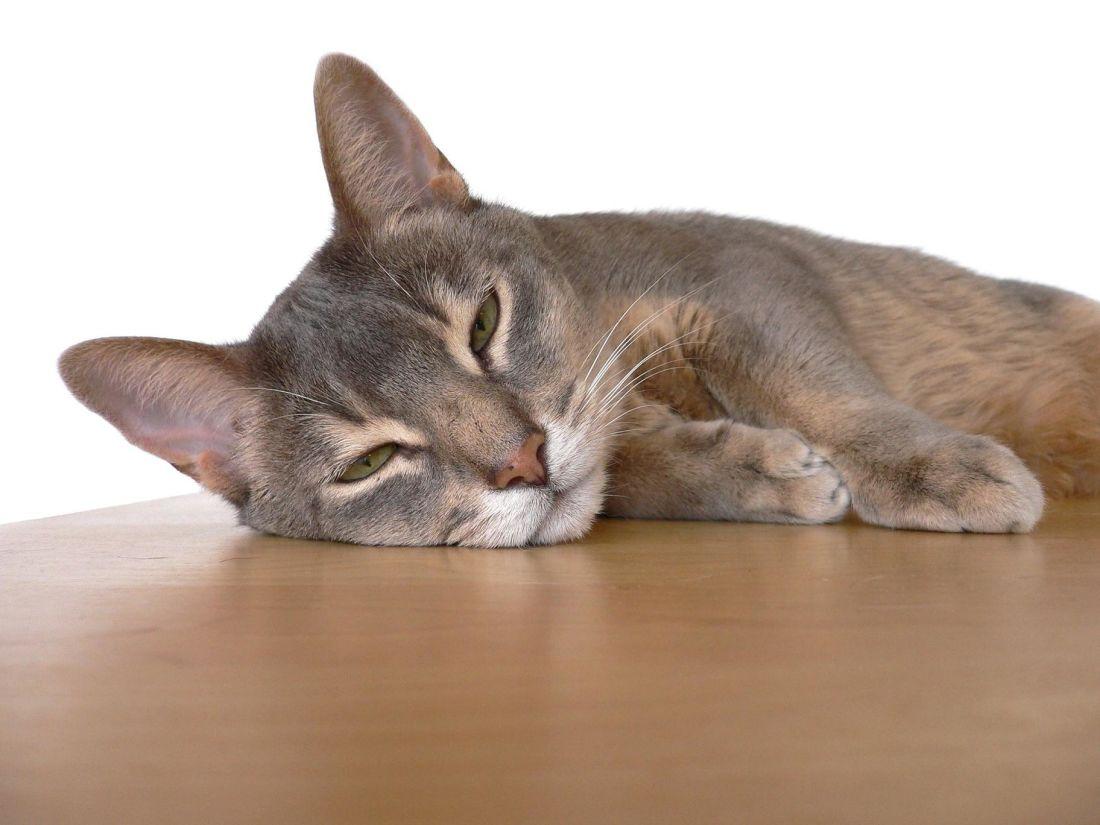 회색 고양이, 귀여운, 동물, 애완 동물, 고양이, 고양이, 키티, 모피, 수염