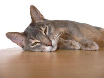 grigio carino, animale, animale, gattino, gatto, baffi, felino, kitty, pelliccia