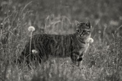 monochrome, chat, animaux, herbe, faune, nature, félin, fourrure, chaton