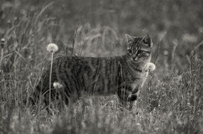 monocromo, gato, animal, hierba, fauna, naturaleza, felina, piel, gatito