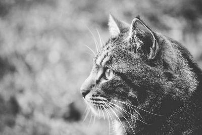 gato, monocromo, animal, naturaleza, retrato, pelaje, fauna, ojo, felino
