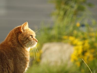 nature, yellow cat, animal, feline, kitten, pet, fur, cute