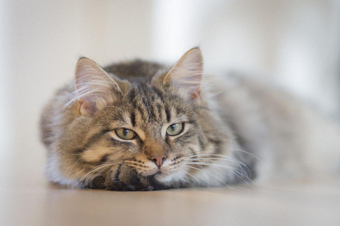 gato persa, retrato, felino, animal, gatito, mascota, pelaje