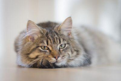 gatto persiano, ritratto, felino, animale, gattino, animali, pelliccia