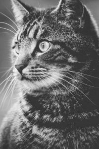 猫 , 动物 , 毛皮 , 肖像 , 可爱 , 猫 , 单色 , 灰咪 , 宠物
