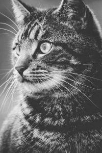 kucing, hewan, bulu, potret, lucu, kucing, monokrom, abu-abu, kitty, hewan peliharaan