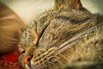 gray cat, sleep, animal, kitten, pet, portrait, fur, eye, cute, feline