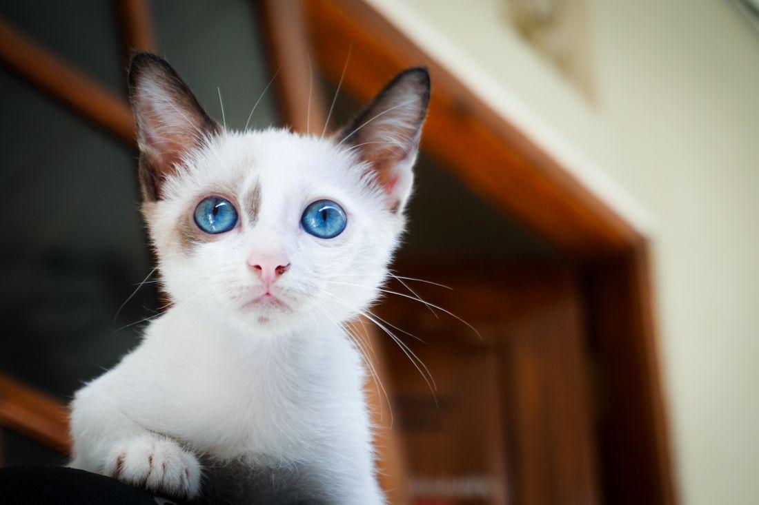 cat, portrait, cute, eye, pet, kitten, animal, young, kitty