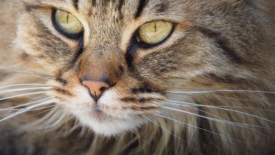 고양이, 동물, 초상화, 애완 동물, 고양이, 귀여운, 눈, 모피, 고양이, 매크로