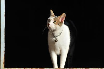cat, portrait, animal, pet, cute, kitten, kitty, feline, fur