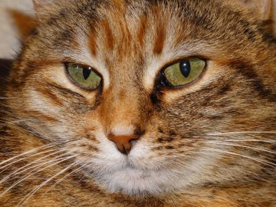 gato, lindo, ojo, piel, cabeza, mascota, retrato, animales, felino