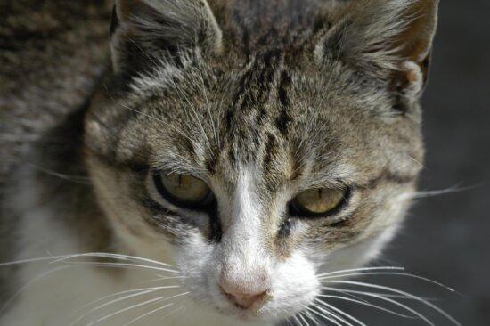 gato, animal doméstico, animal, gatito, lindo, piel, retrato, ojo, felino